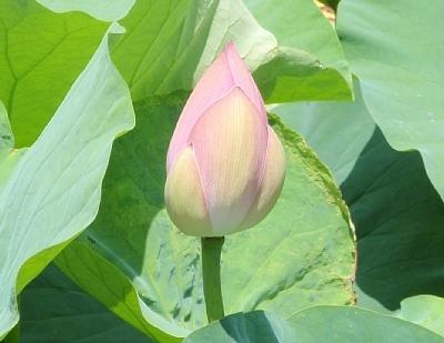 Lotus6_2