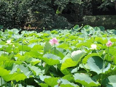 Lotus8