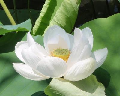Lotuslarge