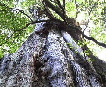 樹齢三千年