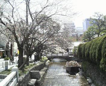 京の桜は一分咲き