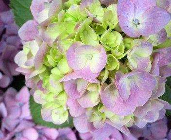 きょうの紫陽花