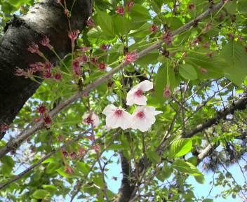 遅れて咲いてる桜の花